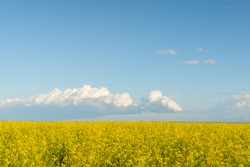 Yellow field and blue sky with clouds.