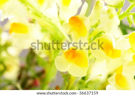 Yellow field flowers close-up, very shallow focus