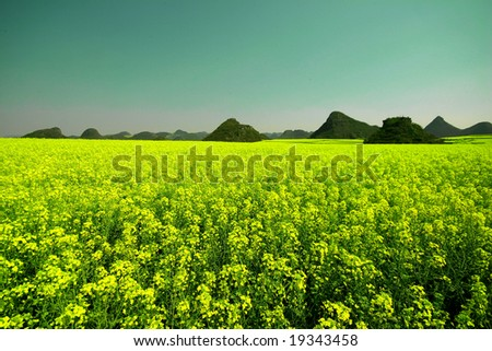 Yellow field full of rapeseed. Taken in Luoping China