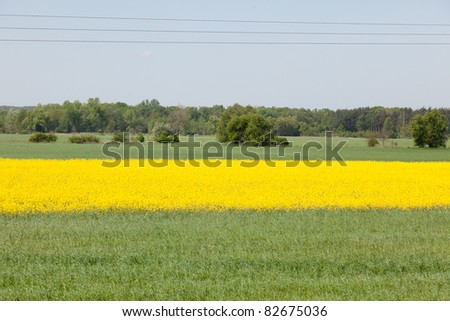 Yellow field of blooming canola in Poland