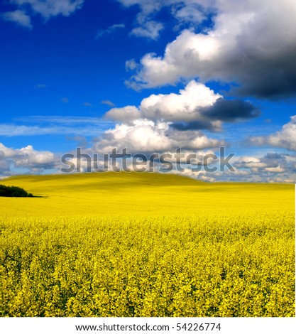 yellow field with oil seed rapeseed