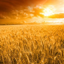 yellow field with the yellow sky