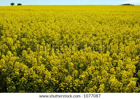 yellow fields with trees