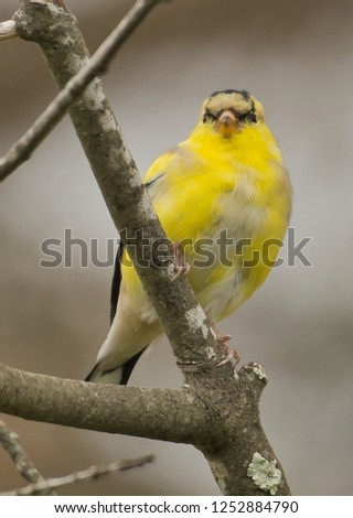 Yellow Finch on the Connecitcut Shoreline