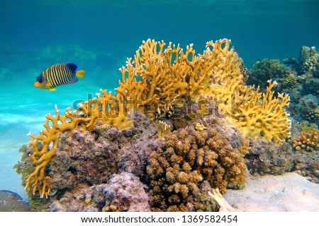 Yellow fire coral (Millepora) and Royal angelfish (Pygoplites diacanthus). Colorful marine life, fish and corals. Underwater photography from snorkeling in the shallow tropical sea. Aquatic wildlife.