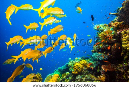 Yellow fish shoal in underwater coral reef. Coral fishes at underwater reef