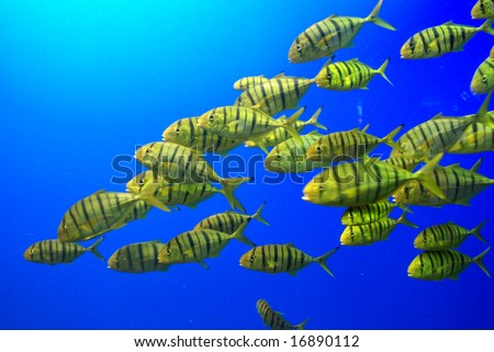 Yellow Fish Swimming in a School