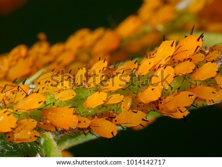 Yellow flocks of aphids