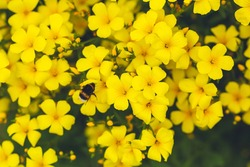 Yellow floral background. Golden flax linum. Bright yellow flowers and a bumblebee close-up. Festive sunny background for congratulations, design, cards and posters.