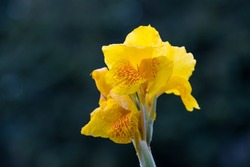 Yellow Florence Vaughan Lily canna in full bloom against dark background outdoor selective focus