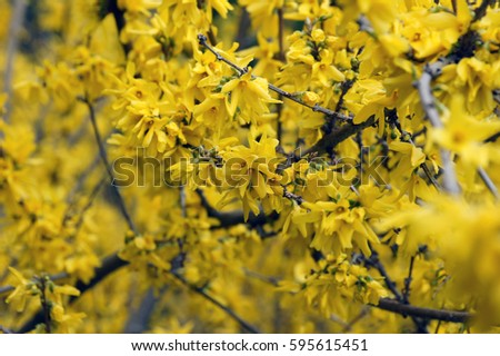 Yellow flower acacia tree branches blooming hello spring natural yellow flower acacia tree branches blooming hello spring natural background mightylinksfo