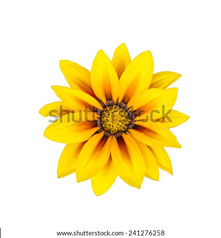 Yellow flower as close up on isolate background #241276258