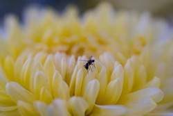 Yellow flower at dawn. Shallow fly. Macro photo. Close-up of a winged insect on yellow petals. The texture of the yellow flower petals. Bokeh