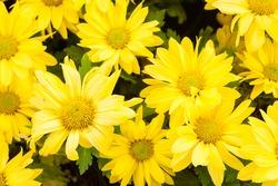 Yellow flower background