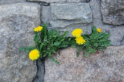 Yellow Flower between the Rock
