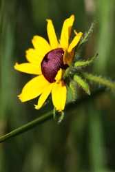Yellow Flower Black Eyed Susan Basking in the Sunlight with Lush Green Background