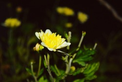 Yellow Flower bloom in india. can be used as a background image, wallpaper, ppt and websites