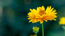 Yellow flower. Blurry backdrop with bokeh, banner, perfect for social media, websites, greeting or invitation cards, zoom background. Copy space, place for text.