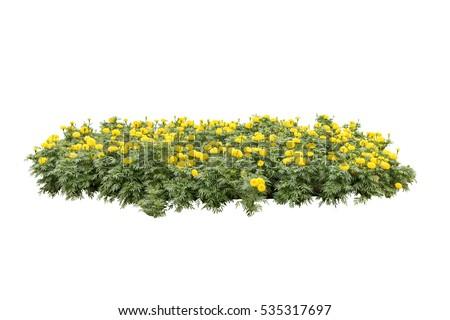 yellow flower bush tree isolated white background #535317697