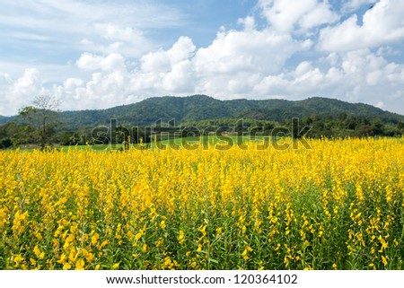 Yellow flower fields with mountain and blue sky background
