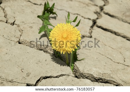 Yellow flower. Growing from the cracked soil