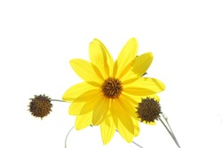 Yellow flower in backlight, with white background. With space to put text.