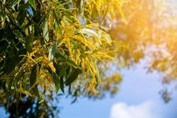 Yellow flower in blooming, Sydney Australia, bright yellow Earleaf acacia flowers of acacia auriculiformis tree, also known as auri, earleaf acacia, earpod wattle, northern black wattle, Papuan wattle