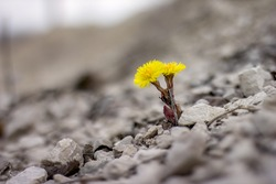 Yellow flower in nature. It grows on rocks in the rock
