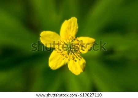 Yellow flower in the center wild yellow flower blooming soft yellow flower in the center wild yellow flower blooming soft looking blurry green mightylinksfo