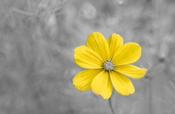 Yellow flower in the garden with gray background. Trendy colors of the year 2021. Copy space.