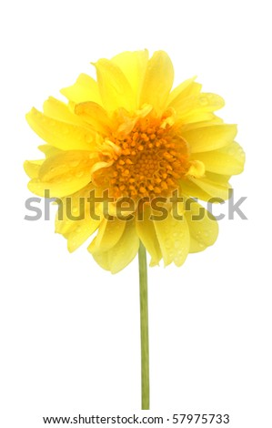 yellow flower isolated a white