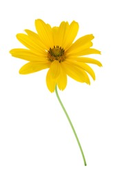 Yellow flower. Isolated on white background