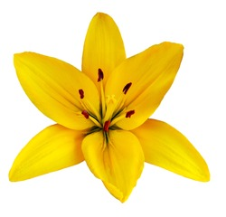 Yellow  flower  lily on a white isolated background with clipping path  no shadows. Closeup.  Nature.