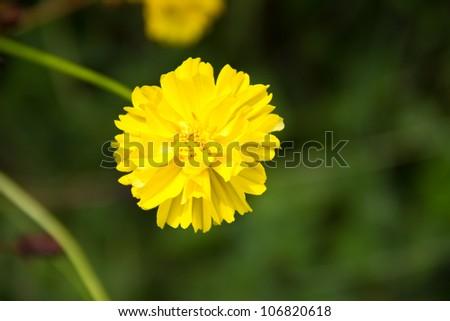 Yellow flower,Marigold