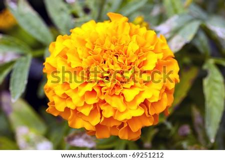 Yellow Flower, Marigold