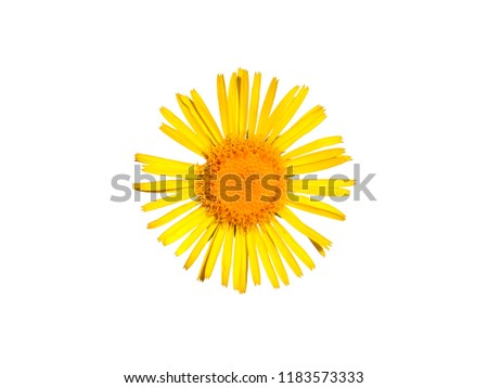 Yellow flower of British yellowhead isolated on white, Inula britannica