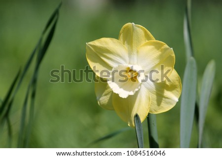 Yellow flower of Daffodil (Narcissus) cultivar Avalon from Large-cupped Group