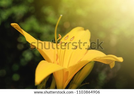 Yellow flower of lily growing in the garden, close-up. Summer flower in sunrise background. Lily flower of yellow color blooming in the summer garden.
