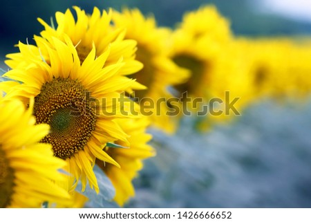 yellow flower of sunflower in a field closeup. botany and vegetation