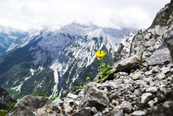 Yellow flower on the rocks in Alps.