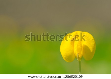 Yellow flower pinto peanut or Arachis pintoi. Royalty high-quality free stock photo image macro photography of Pinto Peanut or Arachis pintoi isolated on nature background. Small yellow flower grass #1286520109