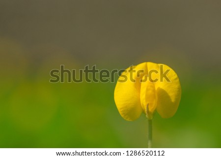 Yellow flower pinto peanut or Arachis pintoi. Royalty high-quality free stock photo image macro photography of Pinto Peanut or Arachis pintoi isolated on nature background. Small yellow flower grass #1286520112
