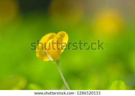 Yellow flower pinto peanut or Arachis pintoi. Royalty high-quality free stock photo image macro photography of Pinto Peanut or Arachis pintoi isolated on nature background. Small yellow flower grass #1286520115