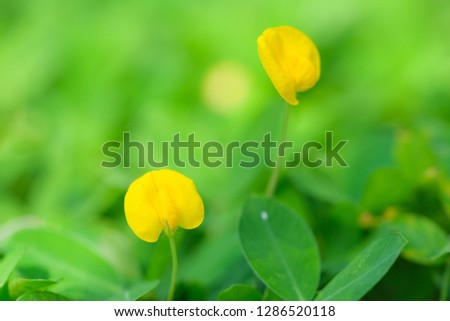 Yellow flower pinto peanut or Arachis pintoi. Royalty high-quality free stock photo image macro photography of Pinto Peanut or Arachis pintoi isolated on nature background. Small yellow flower grass #1286520118