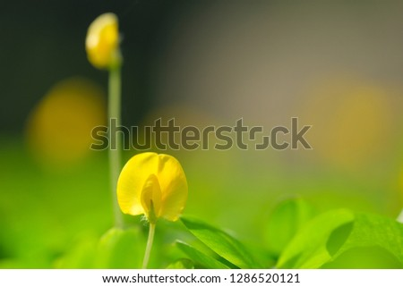 Yellow flower pinto peanut or Arachis pintoi. Royalty high-quality free stock photo image macro photography of Pinto Peanut or Arachis pintoi isolated on nature background. Small yellow flower grass #1286520121