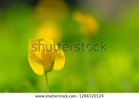 Yellow flower pinto peanut or Arachis pintoi. Royalty high-quality free stock photo image macro photography of Pinto Peanut or Arachis pintoi isolated on nature background. Small yellow flower grass #1286520124
