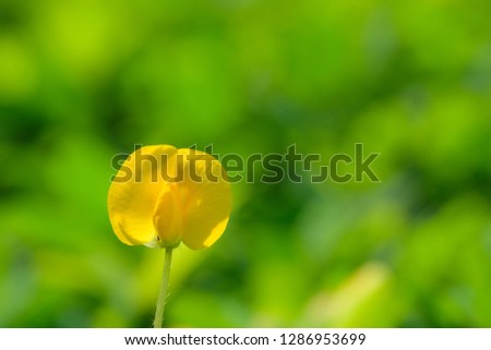 Yellow flower pinto peanut or Arachis pintoi. Royalty high-quality free stock photo image macro photography of Pinto Peanut or Arachis pintoi isolated on nature background. Small yellow flower grass #1286953699