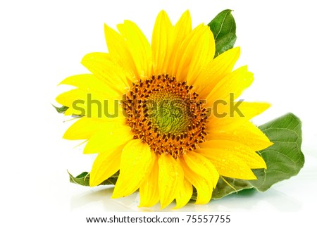 yellow flower sunflower on white background