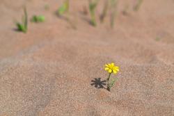 Yellow flower survivor in hot desert