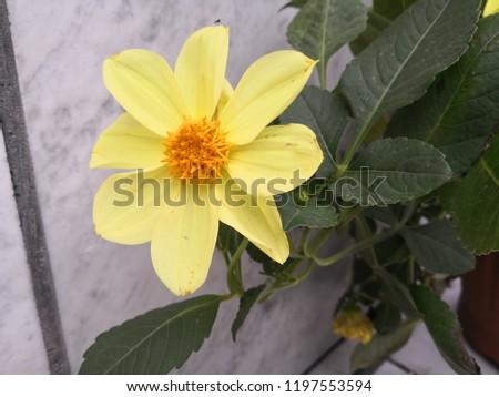 Yellow flower/żółty kwiat Zdjęcia stock ©